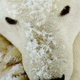 ijsbeer